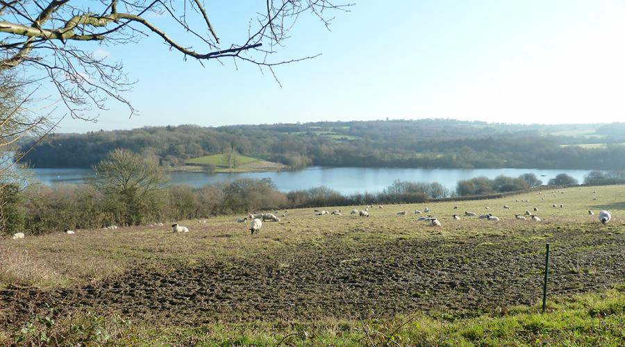 View towards Weir Wood Reservoir with sheep
