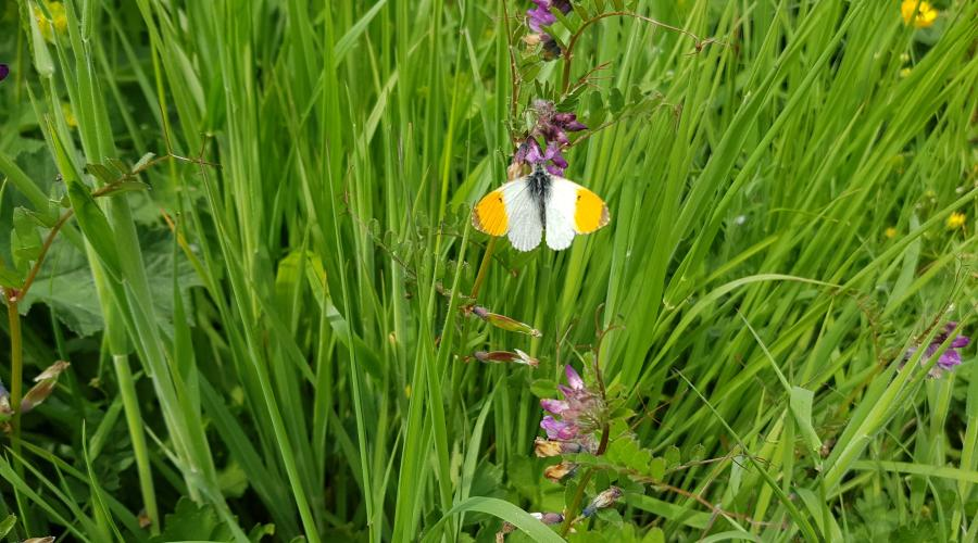 Orange tip butterfly on St Oswald's Way