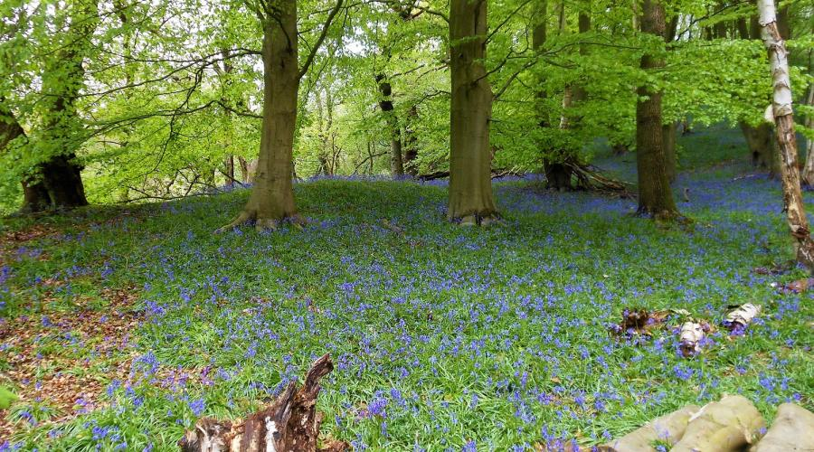Bluebells at Etherow Country Park