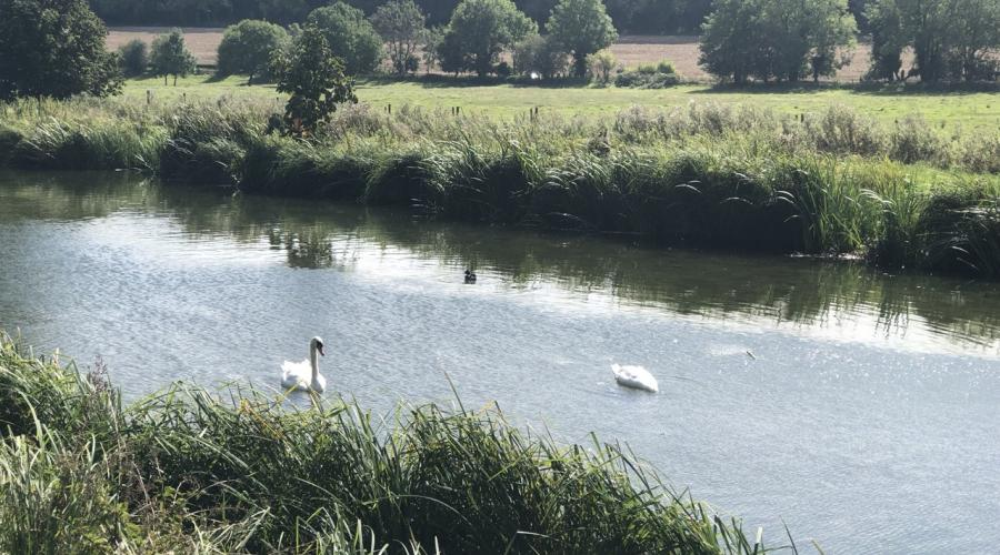 Swans in the Chess Valley