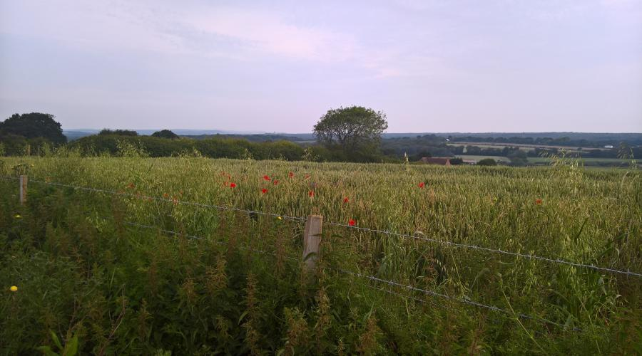 poppies on Highdown Hill