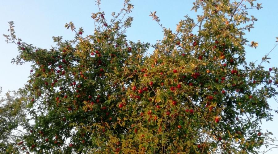 Apple tree laden with fruit