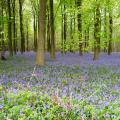 Bluebells in King's Wood, Kent