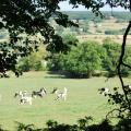 view of cows in the Culm Valley