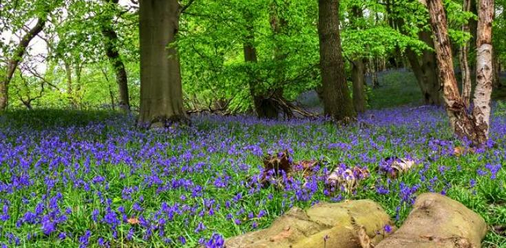 Bluebells in Etherow Country Park