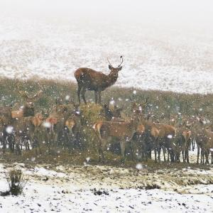 Deer at Lyme Park in the snow