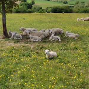 Sheep in the Cotswolds